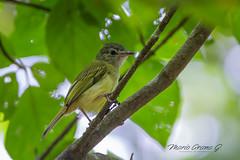 Yellow-Olive Flycatcher (Mario Arana G) Tags: 7d ave bird birding cr canon costarica florayfauna guanacaste marioarana nature naturephotography photography wildlife wildlifecostarica yellowoliveflycatcher