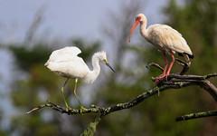 Coastal Marsh Companions (dianne_stankiewicz) Tags: nature wildlife birds coastal marsh companions ibis egret two branch coastalmarshcompanions
