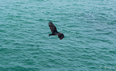 Turkey Vulture (E. Aguedo) Tags: ocean pacific water bird wild wildlife ngc nature paracas ica peru southamerica flying