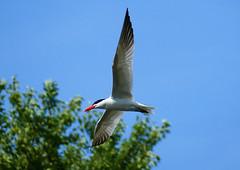 Caspian Tern over the Speed River (ctberney) Tags: caspiantern hydroprognecaspia flying bird speedriver guelph ontario canada