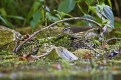 lowa in situ (G_Anderson) Tags: louisiana waterthrush warbler missouri montauk creek ozarks songbird