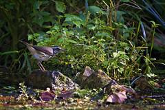 LOWA at bank (G_Anderson) Tags: louisiana waterthrush warbler missouri montauk creek ozarks songbird