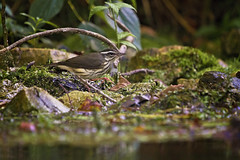 lowa at bank 3 (G_Anderson) Tags: louisiana waterthrush warbler missouri montauk creek ozarks songbird