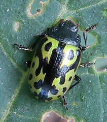 Leaf Beetle, Zygogramma signatipennis, DeAnza Trail, Tubac, AZ (Seth Ausubel) Tags: chrysomelidae az coleoptera chrysomelinae
