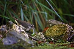 lowa at bank 2 (G_Anderson) Tags: louisiana waterthrush warbler missouri montauk creek ozarks songbird