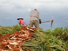 Harvesting ginger (mattlaiphotos) Tags: ginger farmer plant spice agriculture food harvest