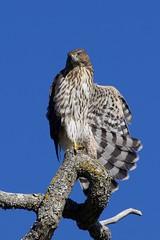 Cooper's Hawk 3706