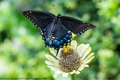 Black Swallowtail (20190818-DSC02047) (Michael.Lee.Pics.NYC) Tags: newyork centralpark conservatorygarden blackswallowtail butterfly insect bokeh sony a6500 fe100400mmgm 14xtc