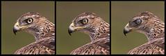 Nictitating membrane / Membrane nictitante (Jeluba) Tags: 2019 oiseau bird aves nature wildlife birdwatching ornithology canon tryptique montage aigledebonelli aquilafasciata bonelliseagle espqgne habichtsadler jeanlucbaron jeluba spain rapace raptor birdofprey
