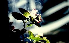 (bluebird87) Tags: dx0 c41 kodak ektar nikon n80 flower green epson v600
