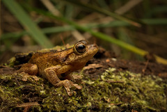 Tyler's Tree Frog (Kel_Clark) Tags: litoriatyleri treefrog amphibian
