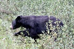 Canada - Bear (Jarco Hage) Tags: canada natuur nature outside animal animals lake rocks mountain berg bergen byjarcohage beer bears beren zwarte black wild wildlife