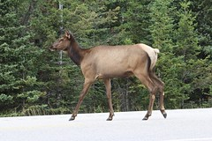 Canada - Caribou (Jarco Hage) Tags: canada outside natuur nature byjarcohage wildlife camper road wild rocks moutain animals