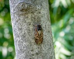 Graptopsaltria nigrofuscata (shinichiro*) Tags: 20190810dsc3914 2019 crazyshin nikon1v3 v3 1nikkorvr70300mmf4556 august summer chofu 京王アンジェ macro candidate