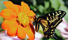Anise swallowtail on Mexican sunflower (TJ Gehling) Tags: insect lepidoptera butterfly papilionidae swallowtail swallowtailbutterfly aniseswallowtail papilio papiliozelicaon plant flower asterales asteraceae sunflower mexicansunflower tithonia tithoniadiversifolia richmondca