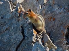 Mount Yamnuska Traverse Scramble - A Golen-mantled Ground Squirrel (benlarhome) Tags: kananaskis alberta canada exshaw yamnuska scramble scrambling hike hiking trek trekking rockies rockymountain