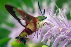FoodDrive (jmishefske) Tags: drinking nectar parkway nikon feeding moth insect bug hummingbird july greenfield rootriver 2019 d500 clearwing his ths