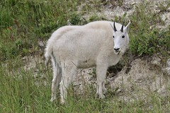Canada - Mountain Goat (Jarco Hage) Tags: canada outside natuur nature byjarcohage wildlife camper road wild rocks moutain animals