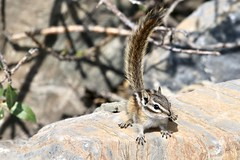 Canada - Squirrel (Jarco Hage) Tags: canada outside natuur nature byjarcohage wildlife camper road wild rocks moutain animals
