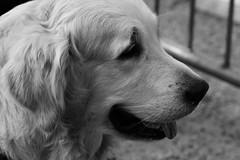 6Q3A1853 (2) (www.ilkkajukarainen.fi) Tags: goldenretriever koira dog kultainennoutaja blackandwhite monochrome mustavalkoinen happy life helsinki suomi finland finlande euu europa scandinavia animal