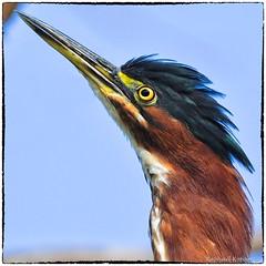 Green Heron (RKop) Tags: greenheron armlederpark raphaelkopanphotography d500 600mmf4evr 14xtciii cincinnati ohio