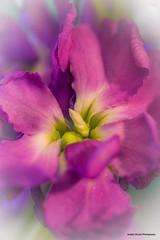 Matthiola incana (josephzmuda2) Tags: northamerica nature pennsylvania hoarystock fineart purple pittsburgh outdoors summer day nopeople singleflower color closeup macro plant botanical flower matthiolaincana