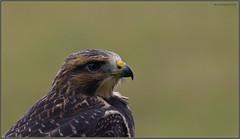Swainson's Hawk Headshot (Juv) (CrzyCnuk) Tags: swainsonshawk hawks hawk birdsofprey wildlife nature alberta canada canon7dmarkii tamron150600mmg2