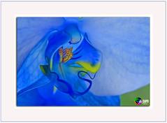 «  Trois gouttes de rosée perlent sur ses pétales….. L'orchidée a pleuré des larmes de Crystal. » (** Capo Jean-claude * <°)))) ><) Tags: soe the magic eye mordus de photos flickr simply amateur photo france superb jean claude capo photographie passion talent capojeanclaudeyahoofr photographes amateurs monde better than good juste image least beautiful syou want perfect composition only your best inoubliable landscapes word mesplusbellesphotos passiondévorante macro nature lieux nationalgeograplicworld wide artcity artists favorite picture flickrunitedwinner flickrunitedaward fleur orchidées symbole féminin macrophotographie