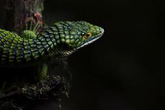 Arboreal Alligator Lizard (DevinBergquist) Tags: abronia abroniagraminea arborealalligatorlizard lizard alligatorlizard herping fieldherping wildlife nature veracruz mexico mx