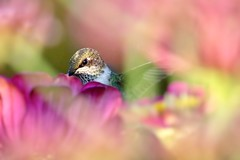 Dreamy Visitor (PhotoJeanettic) Tags: rubythroatedhummingbird