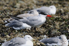 Caspian Tern - Sidney Spit, BC