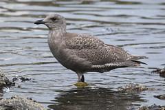 Olympic Gull (GWGUxWEGU) - Oak Bay, Victoria BC
