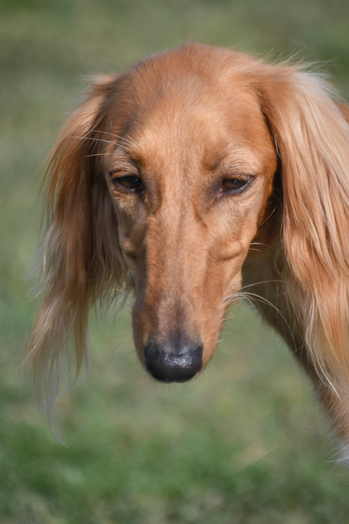 The World's Best Photos of saluki - Flickr Hive Mind
