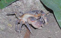 Maltese Freshwater Crab ( Potamon fluviatile lanfrancoi) (Nick Dobbs) Tags: maltese freshwater crab potamon fluviatile lanfrancoi crustacean critically endangered malta qabru