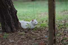White Cat (Flexible Negativity) Tags: 猫 cat 貓 meow ねこ caturday nuko k70 kitten kitty pentax whitecat