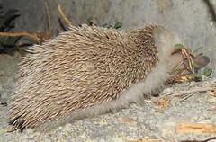 Algerian Hedgehog (Atelerix algirus) (Nick Dobbs) Tags: algerian hedgehog atelerix algirus erinaceidae malta mammal north african qanfud