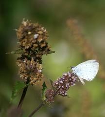 Faded  Holly Blue Butterfly (Jaedde & Sis) Tags: skovblåfugl hollyblue celastrinaargiolus butterfly mentha dof