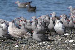 Heermann's Gulls - Sidney Spit, BC