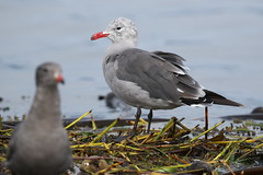 Heermann's Gull - Victoria BC