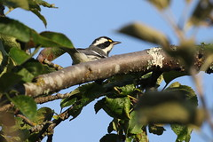 Black-throated Grey Warbler - Pedder Bay, Metchosin BC