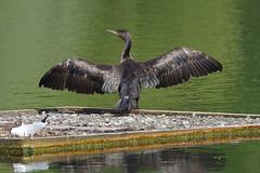 K32P5651c Comorant, Lackford Lakes, May 2019 (bobchappell55) Tags: phalacrocoraxcarbo cormorant water bird lackfordlakes suffolk wildlife nature wild