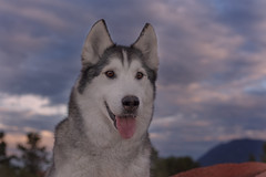 Aurora (Cruzin Canines Photography) Tags: animal animals canon canine aurora 5ds canon5ds eos5ds canoneos5ds portrait dog pet pets dogs nature outside outdoors husky colorado sundown gardenofthegods huskies siberianhusky coloradosprings naturepreserve alaskanhusky