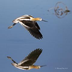 Avocet Reflection (Canon Queen Rocks (3,071,000 + views)) Tags: birds beak blues bird avocet flying nature wildlife water wings wild canada alberta avian waders