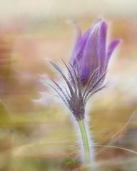Seeking beauty. (Birgitta Sjostedt) Tags: pulsatilla pulsatillavulgaris pasque pasqueflower flower plant wild rare protected unusual spring springtime closeup macro portrait nature texture