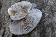 Crepidotus mollis (Week oorzwammetje) - Elderschans - Zeeuws-Vlaanderen - The Netherlands (wietsej) Tags: crepidotus mollis week oorzwammetje elderschans zeeuwsvlaanderen the netherlands r rx10m4 rx10 sony mushroom fungus paddenstoel