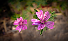 Petite fleur sauvage (balese13) Tags: 35mm afsnikkor35mm118gdx nikonpassion yourbestoftoday fleur flower jardin naturelle nikon nikonistes pink rose sauvage balese 500v20f 1000v40f
