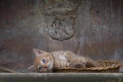 Kitten (Jongejan) Tags: kitten cat pets domesticanimals oneanimal animal cute