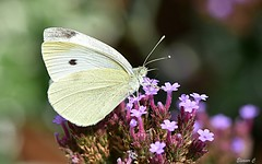Small White (Pieris rapae) (Eleanor (New account))) Tags: butterfly smallwhitebutterfly insect flower verbena garden stanmore england uk nikond7200 august2019