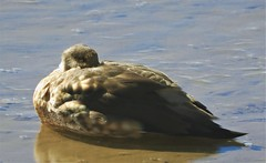 The Crested Duck of the Andes gives me a death glare. (Ruby 2417) Tags: duck bird wildlife nature rare rarity life lifer andes atacama chile machuco