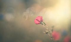 Linum grandiflorum (Dhina A) Tags: sony a7rii ilce7rm2 a7r2 a7r kaleinar mc 100mm f28 kaleinar100mmf28 5n m42 nikonf russian ussr soviet 6blades manualfocus linum grandiflorum summer flower bokeh